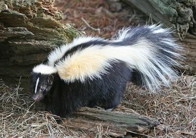 Stinkin Skunk